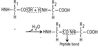 ncert-solutions-for-class-11-biology-biomolecules-2