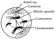 ncert-exemplar-class-11-biology-solutions-cell-cycle-cell-division-4