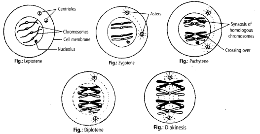 ncert-exemplar-class-11-biology-solutions-cell-cycle-cell-division-7
