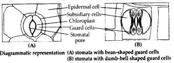 ncrt-exemplar-class-11-biology-solutions-anatomy-of-flowering-plants-9