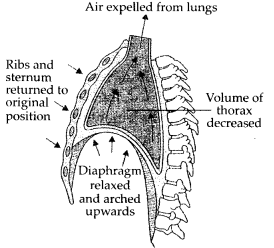 ncert-exemplar-class-11-biology-solutions-breathing-and-exchange-of-gases-9