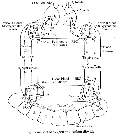 ncert-exemplar-class-11-biology-solutions-breathing-and-exchange-of-gases-5