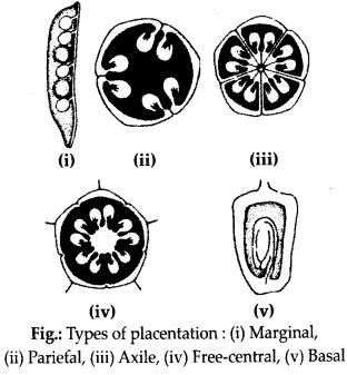 ncrt-exemplar-class-11-biology-solutions-anatomy-of-flowering-plants-13