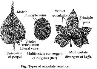 ncrt-exemplar-class-11-biology-solutions-morphology-of-flowering-plants-1
