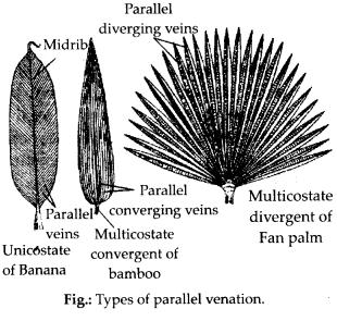 ncrt-exemplar-class-11-biology-solutions-morphology-of-flowering-plants-2
