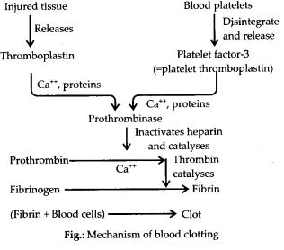 ncert-exemplar-class-11-biology-solutions-body-fluids-and-circulation-10