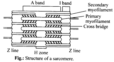 ncert-solutions-for-class-11-biology-locomotion-and-movement-1