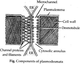 ncrt-exemplar-class-11-biology-solutions-anatomy-of-flowering-plants-17