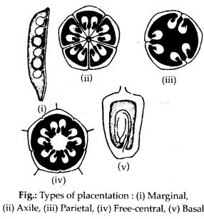 ncrt-exemplar-class-11-biology-solutions-morphology-of-flowering-plants-24