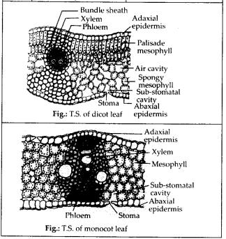 ncrt-exemplar-class-11-biology-solutions-anatomy-of-flowering-plants-12