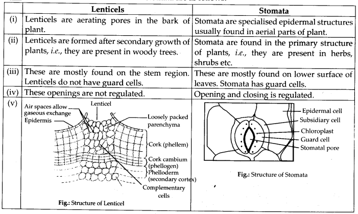 ncrt-exemplar-class-11-biology-solutions-anatomy-of-flowering-plants-5