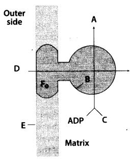 ncert-exemplar-class-11-biology-solutions-respiration-in-plants-31