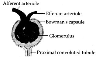 ncert-exemplar-class-11-biology-solutions-excretory-products-and-their-elimination-1