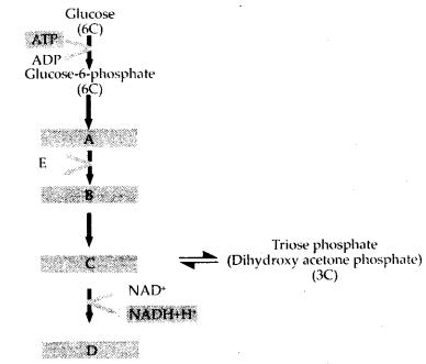 ncert-exemplar-class-11-biology-solutions-respiration-in-plants-10