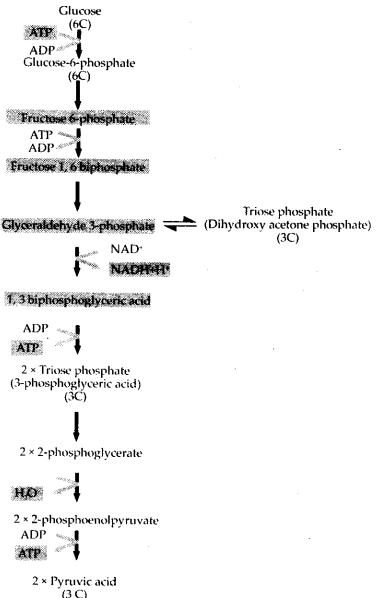 ncert-exemplar-class-11-biology-solutions-respiration-in-plants-12