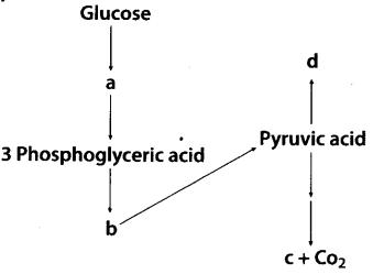 ncert-exemplar-class-11-biology-solutions-respiration-in-plants-27