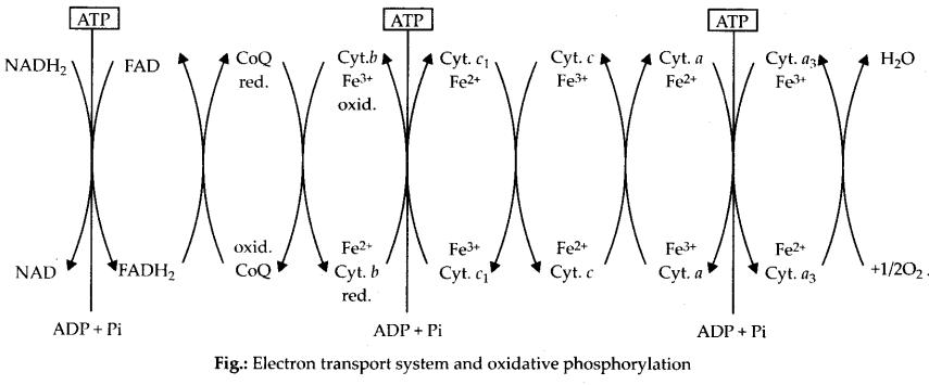 ncert-exemplar-class-11-biology-solutions-respiration-in-plants-33