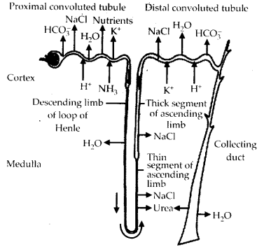 ncert-exemplar-class-11-biology-solutions-excretory-products-and-their-elimination-4