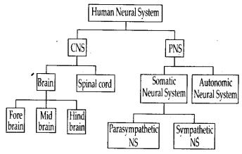 ncert-exemplar-class-11-biology-solutions-neural-control-and-coordination-3