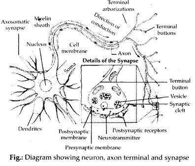 ncert-exemplar-class-11-biology-solutions-neural-control-and-coordination-8