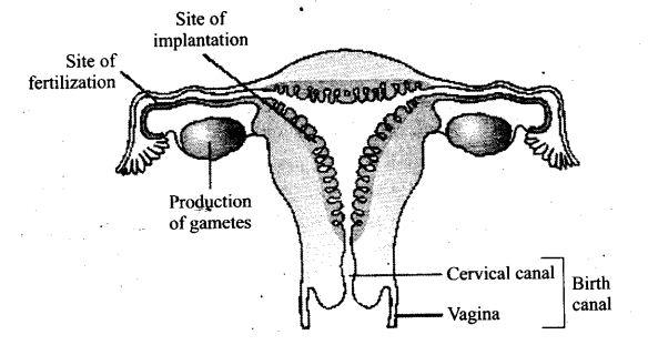 ncert-exemplar-problems-class-12-biology-human-reproduction-17