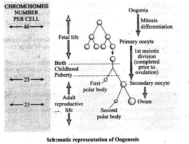 ncert-exemplar-problems-class-12-biology-human-reproduction-15
