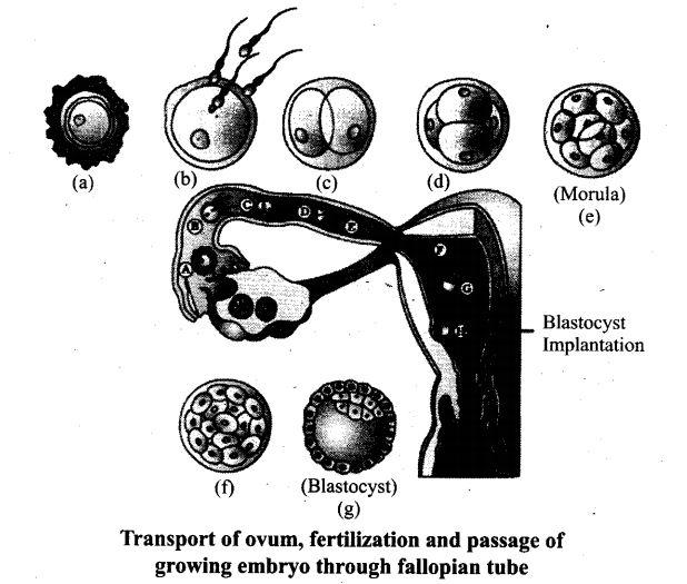 ncert-exemplar-problems-class-12-biology-human-reproduction-16