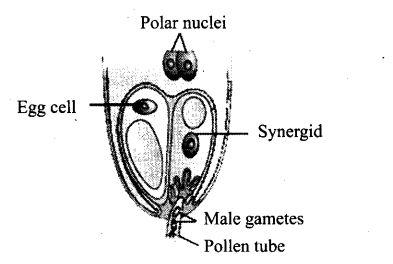 ncert-exemplar-problems-class-12-biology-sexual-reproduction-flowering-plants-16