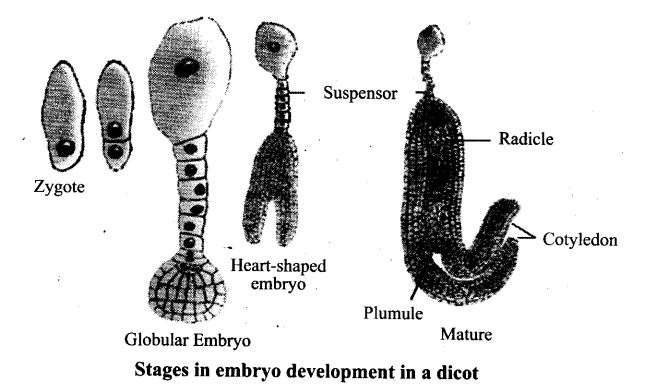 ncert-exemplar-problems-class-12-biology-sexual-reproduction-flowering-plants-17