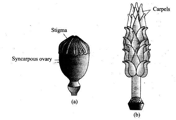 ncert-exemplar-problems-class-12-biology-sexual-reproduction-flowering-plants-11