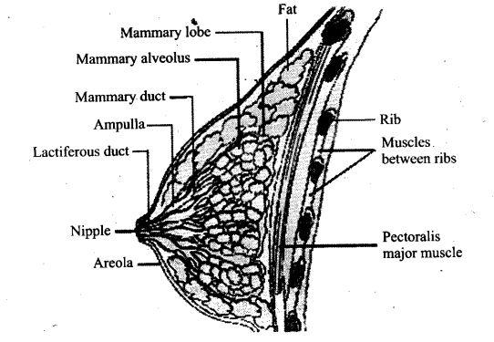ncert-exemplar-problems-class-12-biology-human-reproduction-18