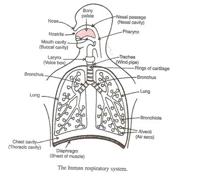 Life-Processes-Lakhmir-Singh-class-10-Biology-Solutions-A-47