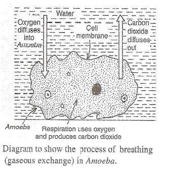 Life-Processes-Lakhmir-Singh-class-10-Biology-Solutions-A-36