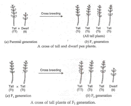 Heredity-And-Evolution-Lakhmir-Singh-class-10-Biology-Solutions-37